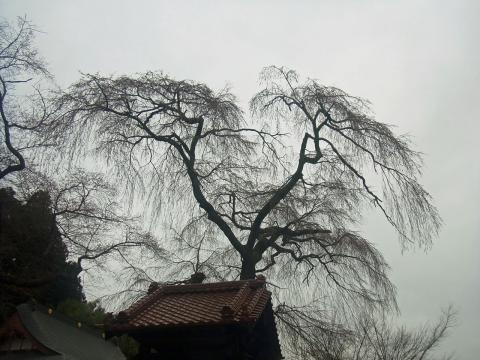 『常願寺枝垂れ桜4月3日(金)』の画像