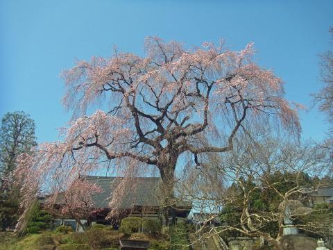 『昌建寺枝垂れ桜4月6日(月)』の画像