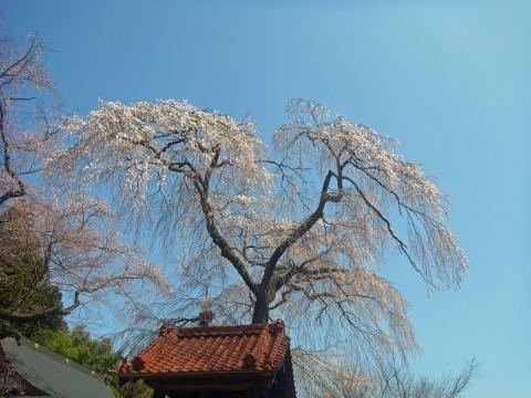 『常願寺枝垂れ桜4月6日(月)』の画像