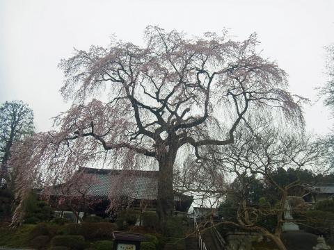 『昌建寺枝垂れ桜4月7日(火)』の画像
