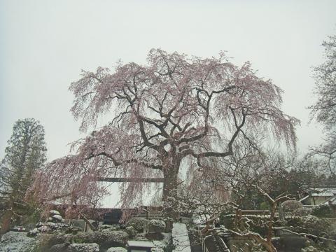 『昌建寺枝垂れ桜4月8日(水)』の画像