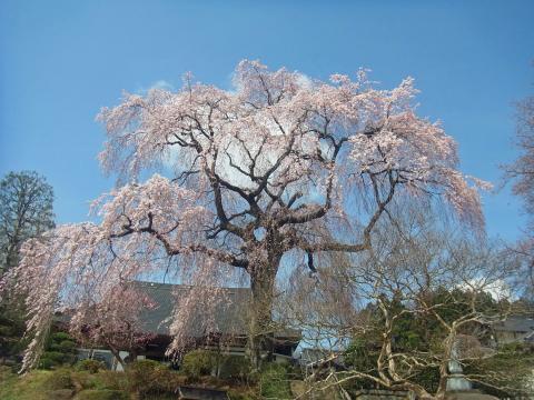 『昌建寺枝垂れ桜4月9日(木)』の画像