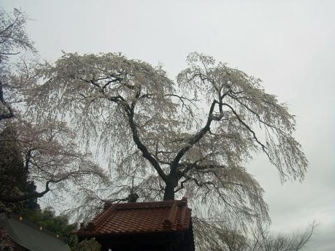 『常願寺枝垂れ桜4月10日(金)』の画像