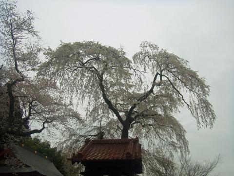 『常願寺枝垂れ桜4月13日(月)』の画像