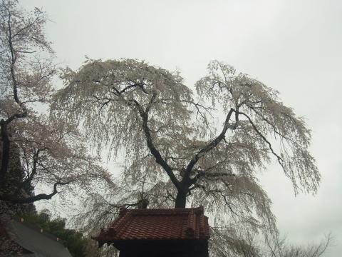 『常願寺枝垂れ桜4月14日(火)』の画像