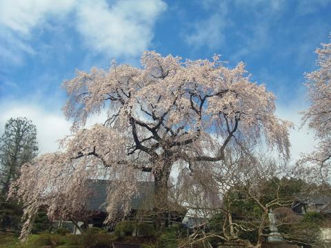 『昌建寺枝垂れ桜4月15日(水)』の画像
