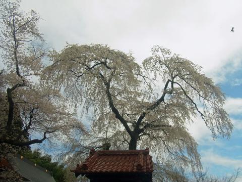 『常願寺枝垂れ桜4月15日(水)』の画像
