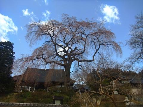 『昌建寺枝垂れ桜4月7日(月)』の画像