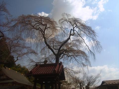 『常願寺枝垂れ桜4月8日(火)』の画像