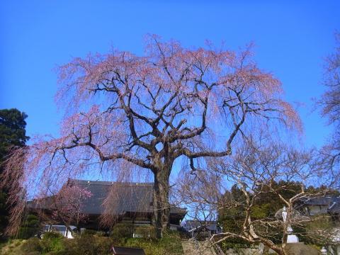 『昌建寺枝垂れ桜4月9日(水)』の画像