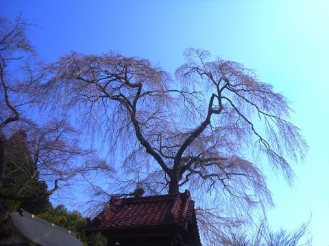 『常願寺枝垂れ桜4月9日(水)』の画像