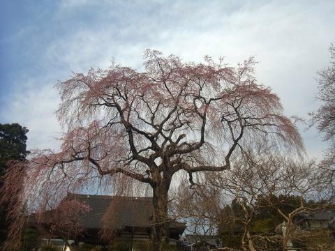 『昌建寺枝垂れ桜4月10日(木)』の画像