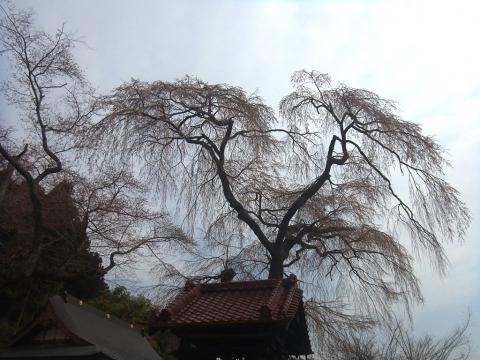 『常願寺枝垂れ桜4月10日(木)』の画像
