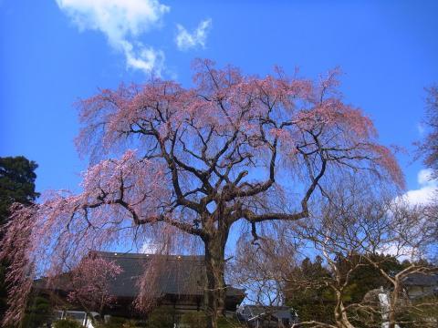 『昌建寺枝垂れ桜4月11日(金)』の画像