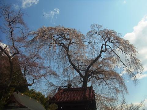 『常願寺枝垂れ桜4月11日(金)』の画像
