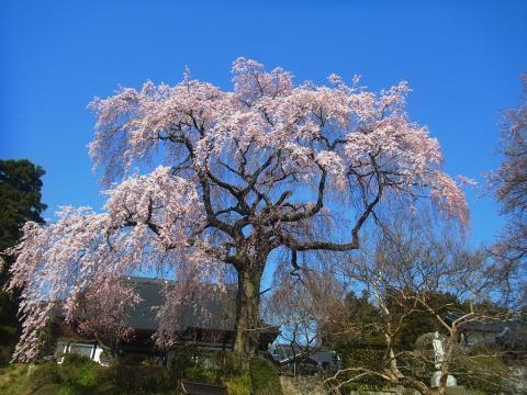『昌建寺枝垂れ桜4月14日(月)』の画像