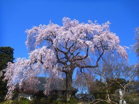 『昌建寺枝垂れ桜4月15日(火)』の画像