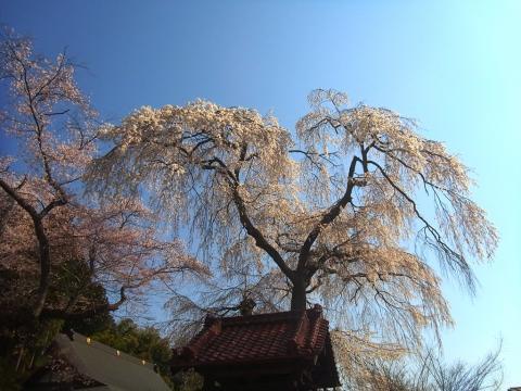 『常願寺枝垂れ桜4月15日(火)』の画像