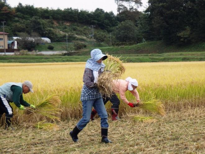 『稲刈りを楽しむ光景』の画像