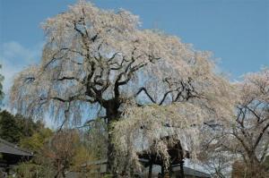 『第7回いずみざき桜ウォーク当日09』の画像