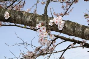 『第10回泉崎さくらウォーク開催09』の画像