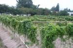 『自然薯畑』の画像