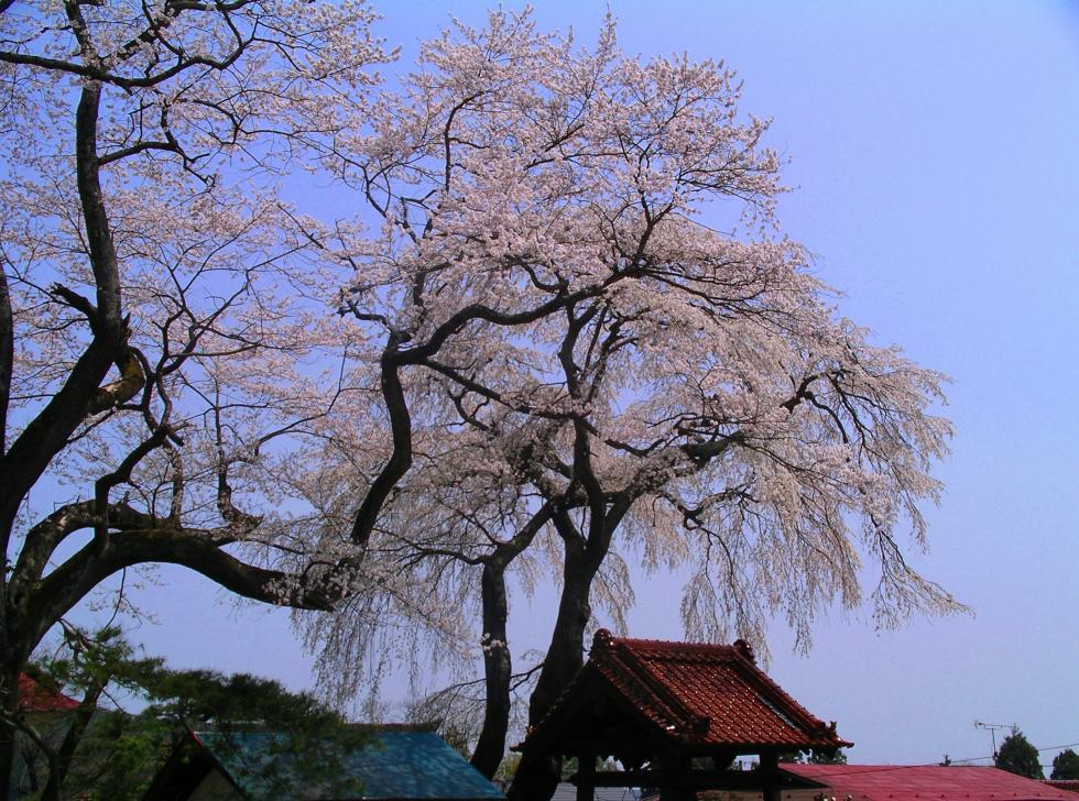 『『常願寺の桜』の画像』の画像