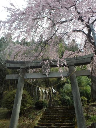 『『愛宕神社のしだれ桜』の画像』の画像
