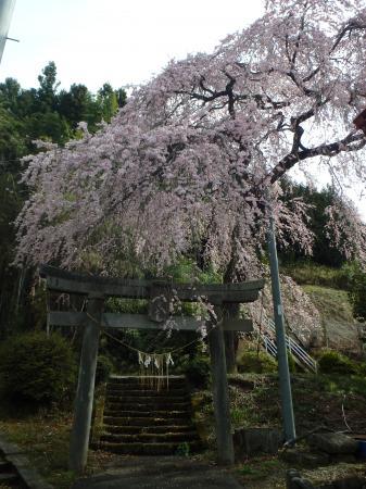 『愛宕神社 しだれ桜』の画像