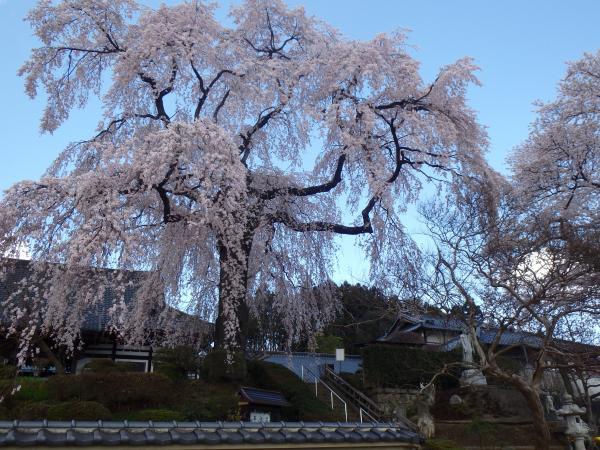 『昌建寺の桜正面』の画像