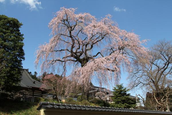 『昌建寺の桜斜め』の画像