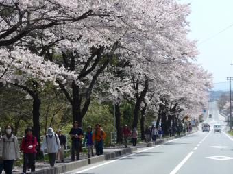 『桜ウォーク 保健センター前』の画像