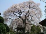 『昌建寺のしだれ桜』の画像