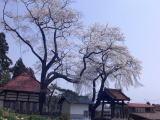 『常願寺のしだれ桜』の画像