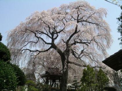 『『昌建寺のしだれ桜』の画像』の画像